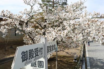 仁和寺の御室桜、平安神宮の桜、豆水楼の湯豆腐