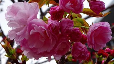 久し振りの・・・大阪造幣局桜の通り抜け その5。