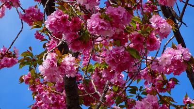 久し振りの・・・大阪造幣局桜の通り抜け その6。