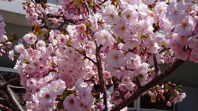 久し振りの・・・大阪造幣局桜の通り抜け その7。