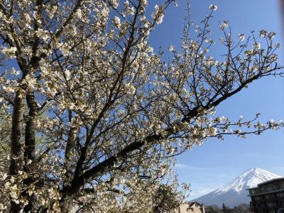春爛漫(*´꒳`*)♪ ほっこり富士さんぽ