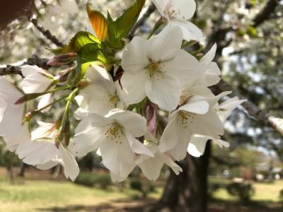 最後の桜  IN  若草公園