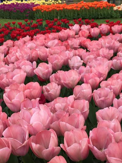 国営昭和記念公園花まつりパート2