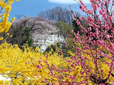 福島の春を訪ねて<1> 三春の滝桜~花見山公園~霞ヶ城公園