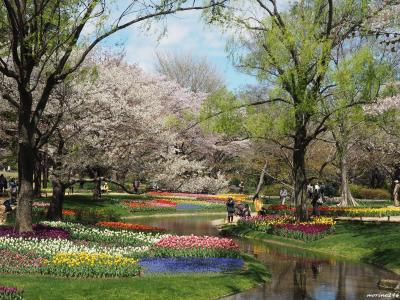 桜とチューリップの饗宴@昭和記念公園