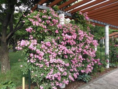 信州スカイパーク 花フェスのバラ園へ
