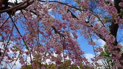 大阪城公園の花見をしました 中巻。