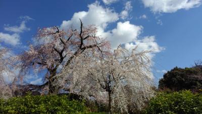 京都 桜咲く2019