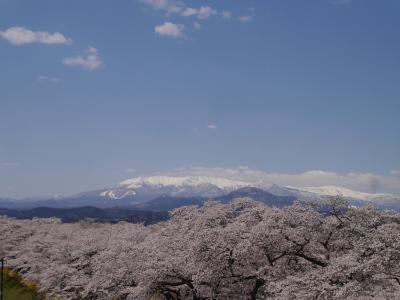 南東北にも春が来た~!!福島県・花見山公園と宮城県・白石川堤一目千本桜へ・・満開の桜を楽しんで来ました♪♪