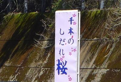 天空のしだれ桜!高見の郷