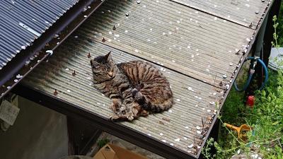 尾道さるく  散り際の桜、見に行きます→からの猫(=゚ω゚=)