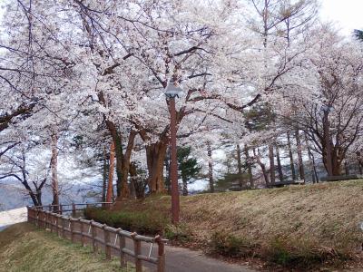 桜を追いかけて@新潟