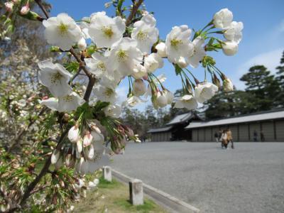 町屋の片泊まりで巡る京都の桜2019  その15 京都御苑の桜と御所参観