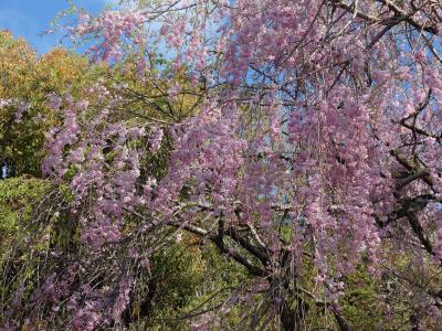 龍安寺の枝垂桜が好き。みごとな枝垂桜です。