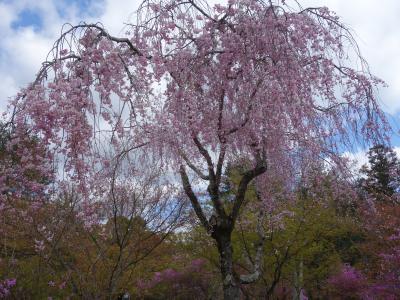 仁和寺のお花は,御室桜だけではありません。ほかのお花もきれいです。