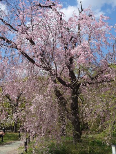 京都府立植物園の枝垂桜。みごとに咲いていました。すばらしいところです。