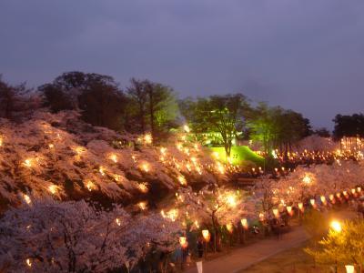 日本三大夜桜 満開の高田公園の夜桜