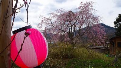 北近畿への日帰りバス旅行(04) 京都府緑化センターの枝垂れ桜 上巻。