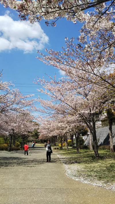 見納めの桜🌸