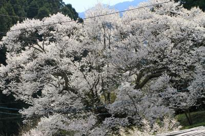 仏隆寺の千年桜 満開の。