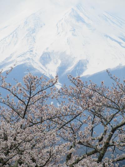 富士山と桜 2週連続 新倉山浅間公園へ行く