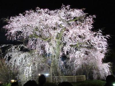 町屋の片泊まりで巡る京都の桜2019  その17 「権兵衛」のうどん・「歩兵」の餃子・円山公園の夜桜