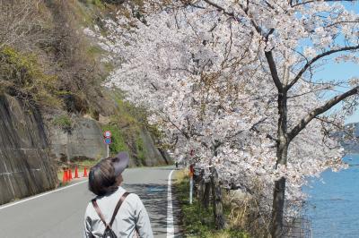海津大崎桜ウォーク  JRマキノ駅から JR永原駅まで、桜並木を歩きました
