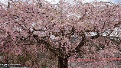 北近畿への日帰りバス旅行(05) 京都府緑化センターの枝垂れ桜 中巻。