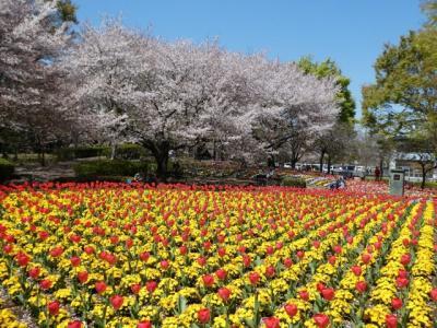 埼玉・大宮花の丘公園のチューリップ2019