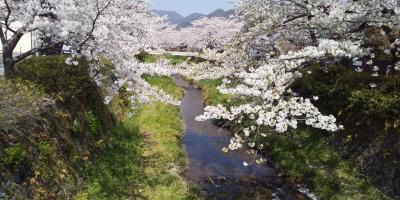 一の坂川の桜満開とグルメ