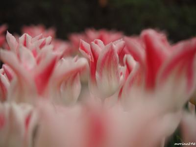 横浜公園のチューリップ&山下公園の花壇展