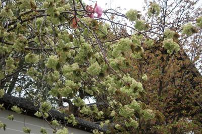 清涼寺の御身拭い、仁和寺に緑の花の御衣桜、散りゆく御室桜。