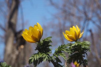 我が北海道の早春の花たちを見に ~浦臼町浦臼神社~