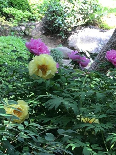 春のお散歩 箱根山、神田川遊歩道、肥後細川庭園、ぼたんの薬王院