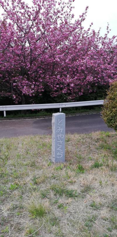 富谷で遅咲きの桜