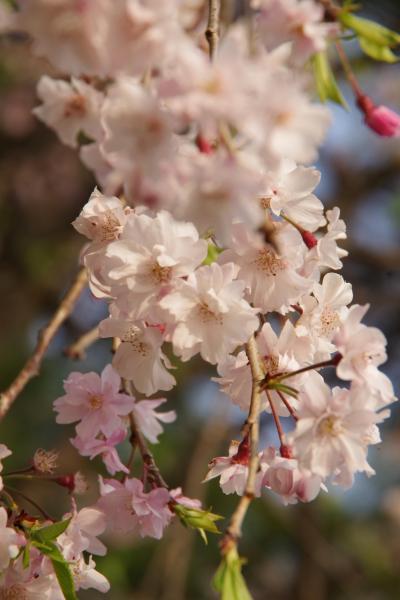 平成最後の桜鑑賞@半木の道は葉桜でした