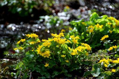 ◆咲き誇るリュウキンカと『果ての雪』~涌井の清水