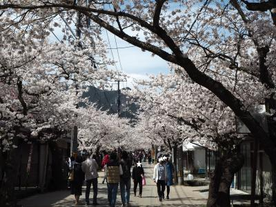 新庄村・がいせん桜★勝山町並み保存地区