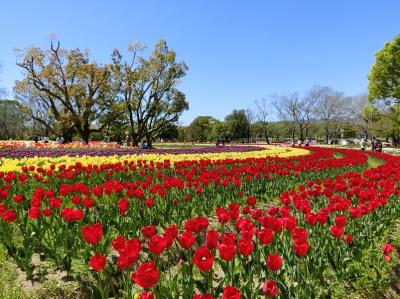 快晴に誘われて、大阪万博記念公園・チューリップの花園で、「チューリップ三昧の一日」を過ごす。(2019)