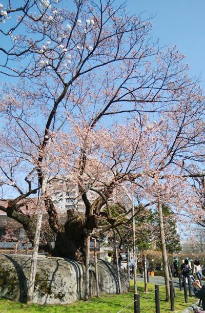 裁判所前の石割桜を見に