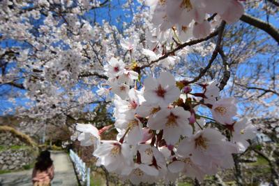 桜を愛でながら天の岩戸、龍穴神社、長谷寺へ