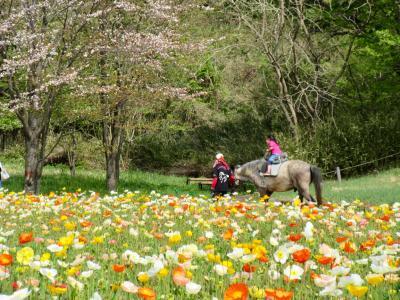 薫風に咲く シベリアヒナゲシ ~ 国営武蔵丘陵森林公園