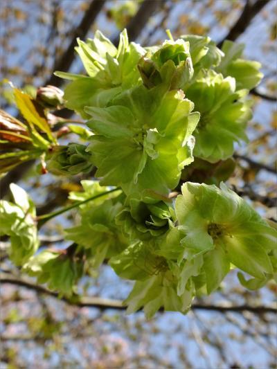 八重桜が見頃を迎えたやなせ苑桜づつみ