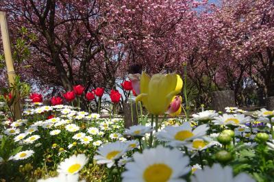 横浜 八重桜&春まつり 三ッ池公園、馬場花木園、カーボン山、入江川せせらぎ緑道
