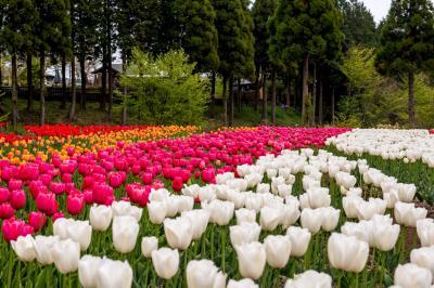 くじゅう花公園1 2019春