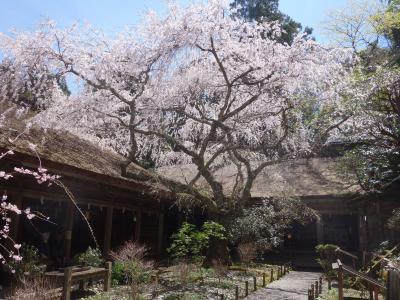 吉野上千本。吉野水分(みくまり)神社の桜がとてもきれいでした。