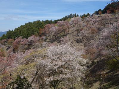 吉野上千本。花矢倉は期待はずれ。でも,「さくら咲艶プロジェクト」のさくらは圧巻でした。