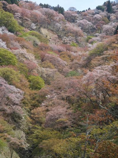 吉野山の桜。帰り道のクルマから見た「上の千本」が一番きれいだった。