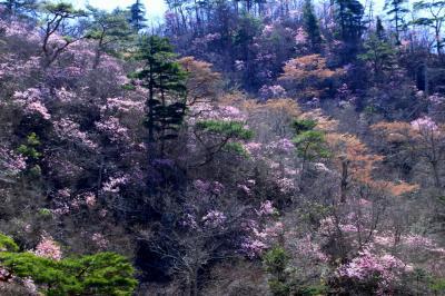 ◆夏井川渓谷を桃色に染めるアカヤシオ群落と笠ヶ森のイワウチワ