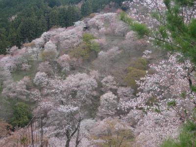 吉野の桜 一度見てみたかった♪